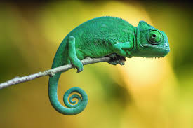 chameleon-unknown